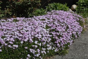 kebun bunga Moss Phlox Subulata