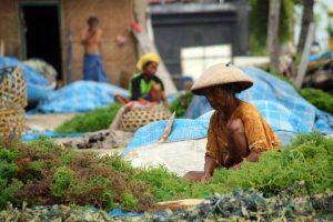 Budidaya Rumput Laut Nusa Lembongan