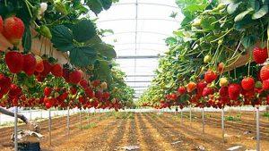 Petik Buah Kusuma Agrowisata