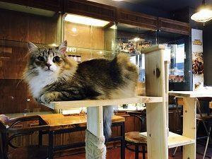 4rest norwegian forest cat cafe