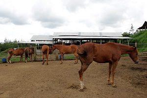 peternakan-kuda megastar