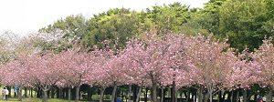 Taman Sakura, Kebun Raya Cibodas