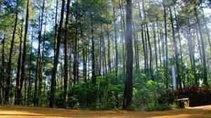 Hutan Pinus Kalilo