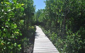 Hutan Mangrove Sebauk