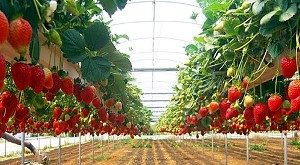 Perkebunan Stroberry
