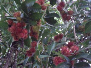 Agrowisata Rambutan..