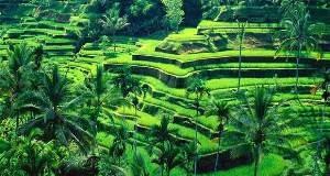 Sawah Terasering Ubud