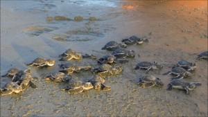 Sur Turtles