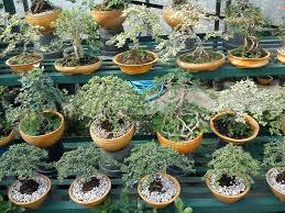 agrowisata bonsai...