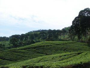 perkebunan teh gunung gambir