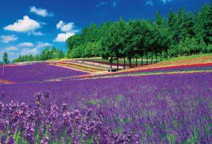 Lavender Hatake