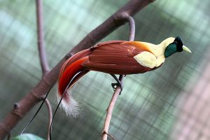 bird-watching-cendrawasih-merah-raja-ampat