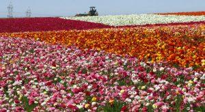 Carlsbad Flower Fields, Los Angeles - Amerika Serikat