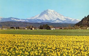 Fields of Flowers, Puyallup Valley - USA
