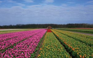 Flower Fields - Belanda