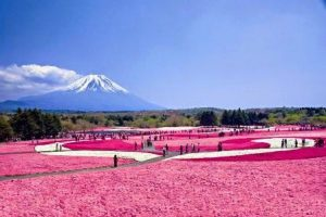 Fuji Shibazakura Flower Festival - Jepang
