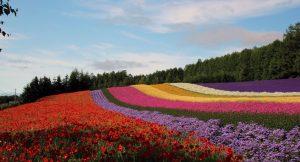 Furano Flower Fields, Hokkaido - Jepang