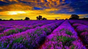 Lavender Fields, Provence - Prancis