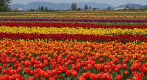 Skagit Valley Tulip Festival, Washington - Amerika Serikat