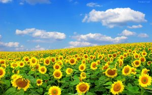 Sunflower Fields - Spanyol