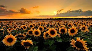 Sunflower Fields, Tuscany - Italia