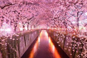 20 Tempat Pemandangan Bunga Sakura Terindah Di Jepang