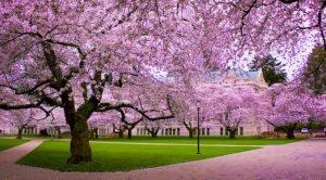 Taman Bunga Sakura - Cibodas